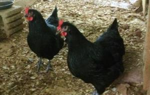 chicken 1